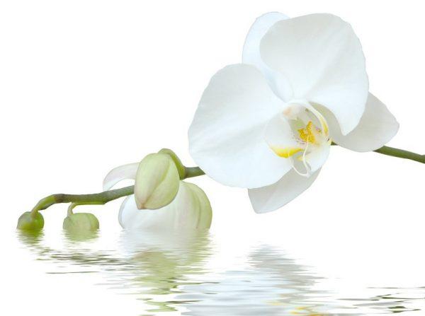 cut white orchid bloom symbolizing sensitivity